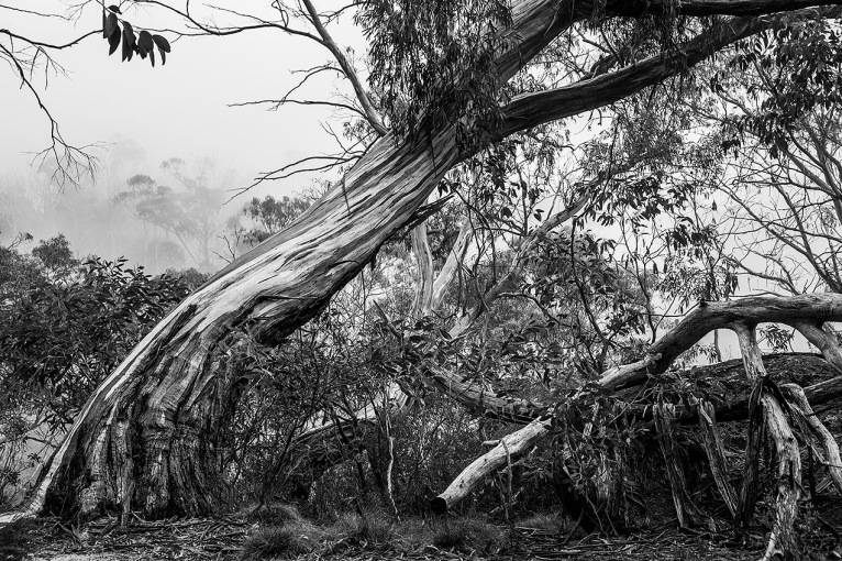 Image of Gum tree in Mount Buffalo National Park