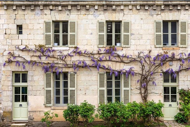 Wisteria at Fontevraud Abbey, Anjou