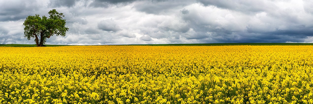 Canola field in France