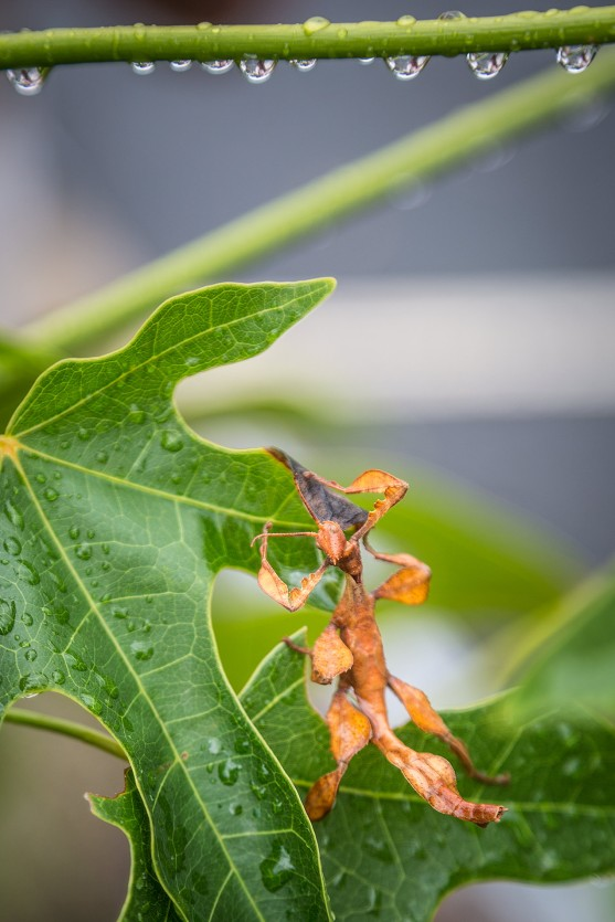 Leaf insect in the Daintree Rainforest - © Michael Evans Photographer 2013  - www.michaelevansphotographer.com