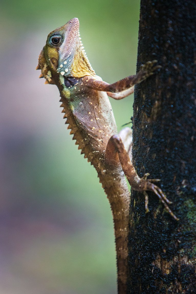 Tree Lizard - © Michael Evans Photographer 2013  - www.michael