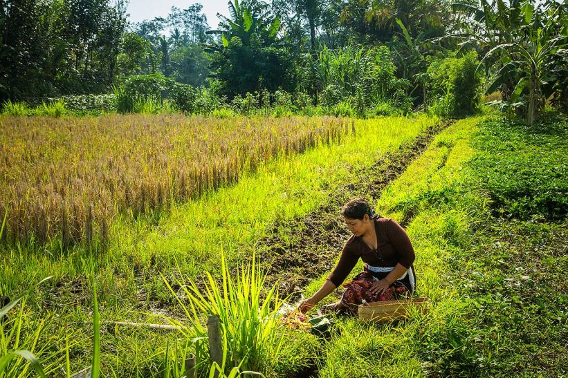 Working in Ubud rice paddy...© Michael Evans Photographer 2014 - www.michaelevansphotographer.com