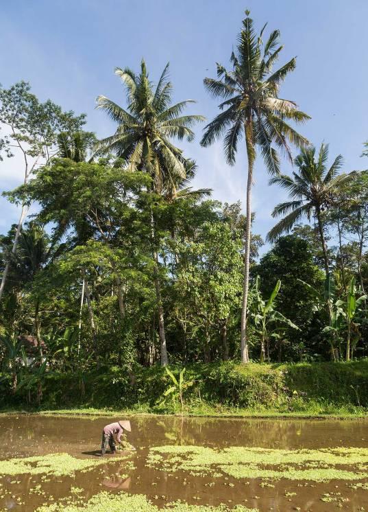 Ubud rice paddy...© Michael Evans Photographer 2014 - www.michaelevansphotographer.com