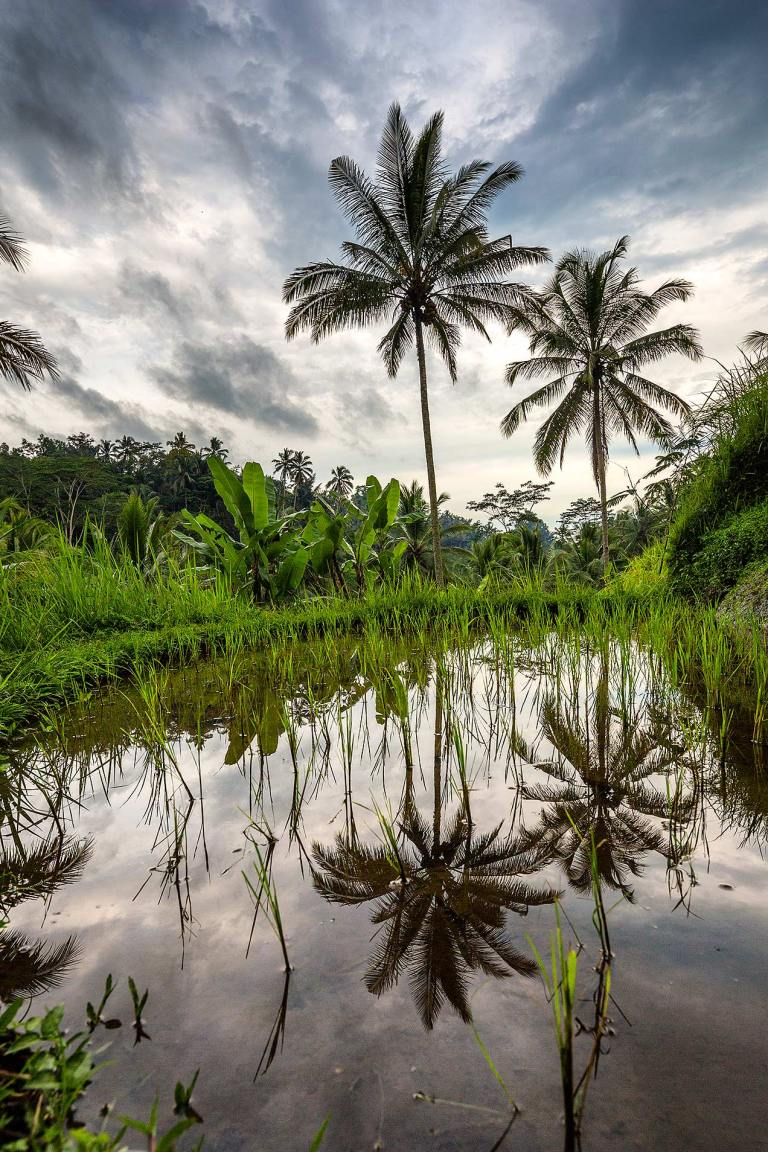 Reflections in a rice paddy, Ubud...© Michael Evans Photographer 2014 - www.michaelevansphotographer.com