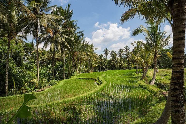 Image of the rice paddy's just outside Ubud... © Michael Evans Photographer 2014 - www.michaelevansphotographer.com