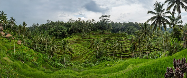 Panoramic image of the rice paddy's just outside Ubud... © Michael Evans Photographer 2014 - www.michaelevansphotographer 2014