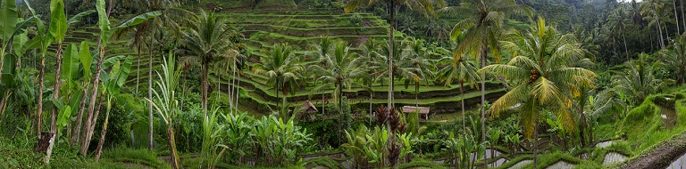 Panoramic image of the rice paddy's just outside Ubud... © Michael Evans Photographer 2014