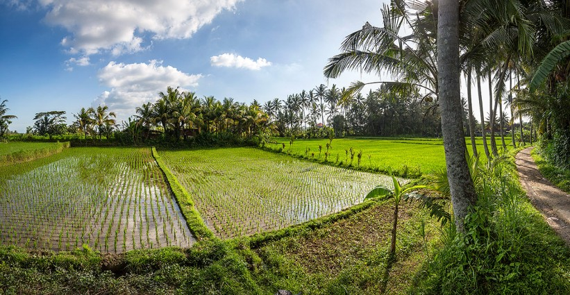 Panoramic image of the rice paddy's just outside Ubud... © Michael Evans Photographer 2014 - www.michaelevansphotographer.com