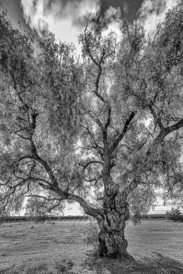 Beautiful tree at Katnook Winery - © Michael Evans Photographer 2014 - www.michaelevansphotographer.com