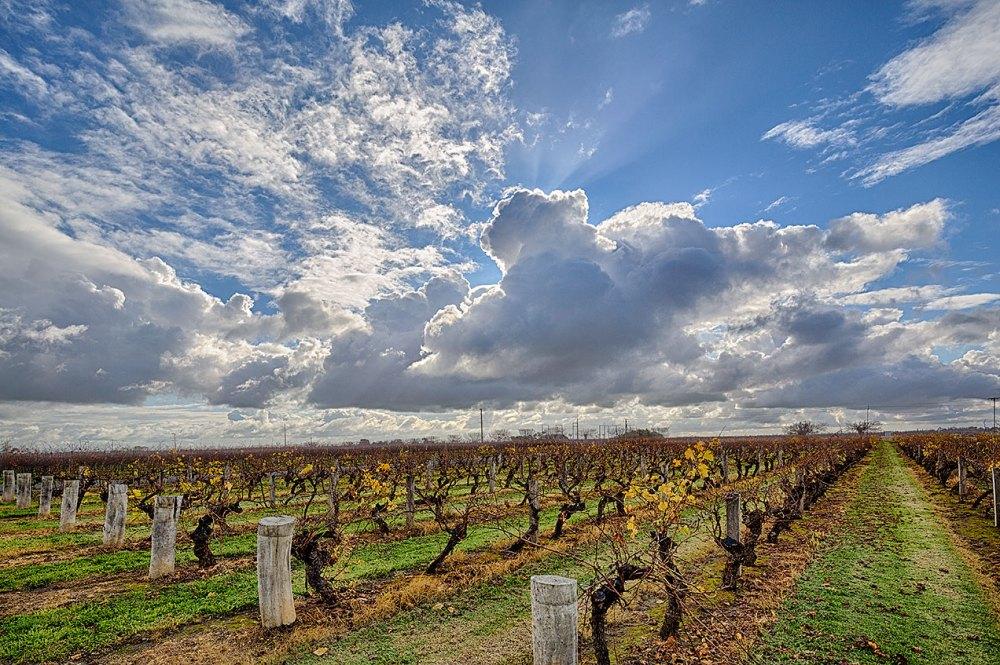 Vineyard at Wynns Coonawarra - © Michael Evans 2014 - www.michaelevansphotographer.com