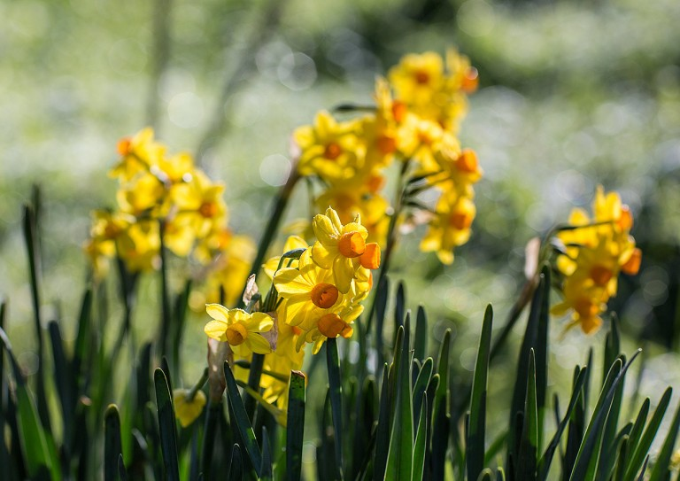 Daffodils © Michael Evans Photographer 2014