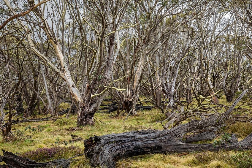 Snow gums at Mount Hotham, Victoria - © Michael Evans Photographer 2014