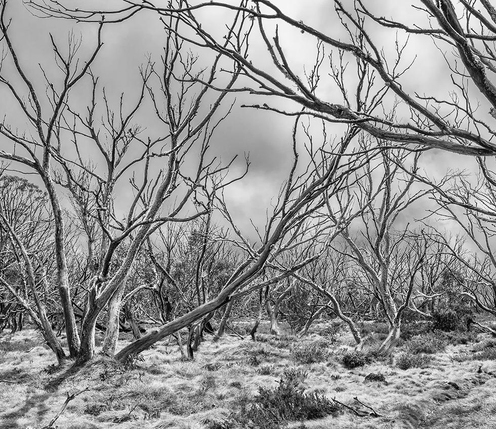 Snow gums at Mount Hotham, Victoria - © Michael Evans Photographer 2014