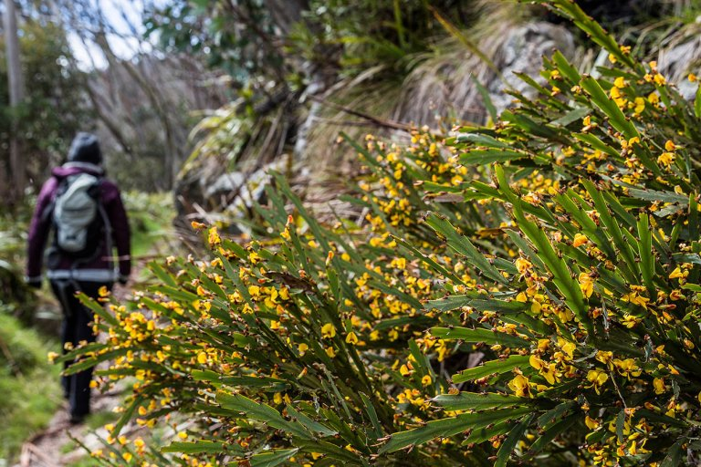 Yellow flowering plants at Mount Hotham, Victoria - © Michael Evans Photographer 2014