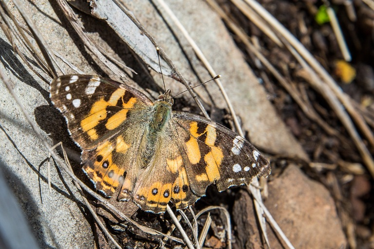Butterfly at Mount Hotham, Victoria - © Michael Evans Photographer 2014