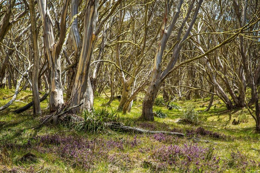 Landscape and snow gums at Mount Hotham, Victorian Alps - © Michael Evans Photographer 2014