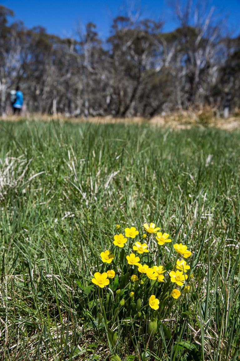 Buttercups and snow gums at Mount Hotham, Victorian Alps - © Michael Evans Photographer 2014