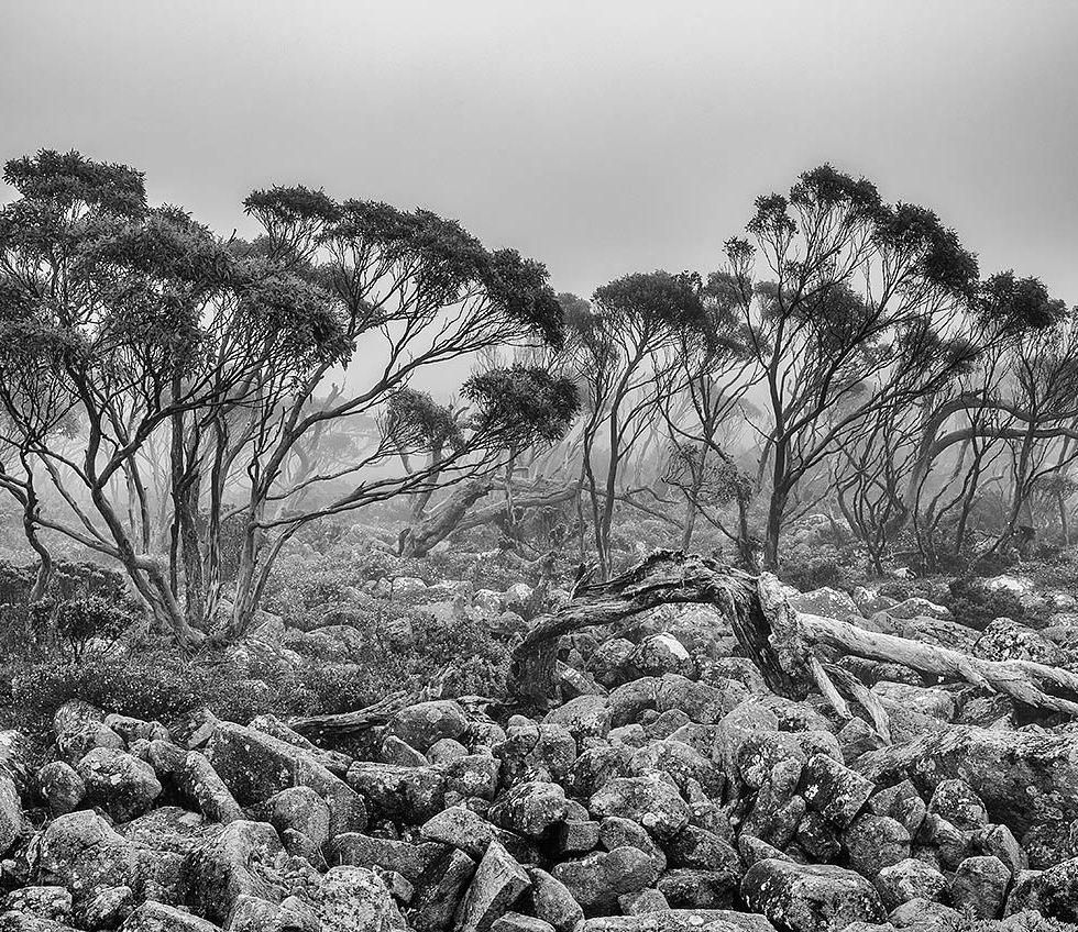 Snow gums on Mount Wellington © Michael Evans Photographer 2015 - www.michaelevansphotographer.com