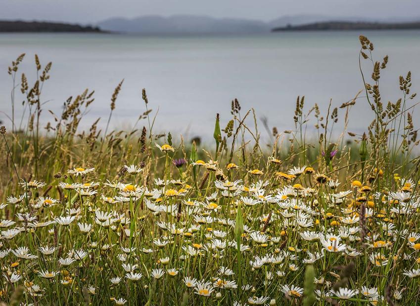 Daisies, Tasmania © Michael Evans Photographer 2015 - www.michaelevansphotographer.com