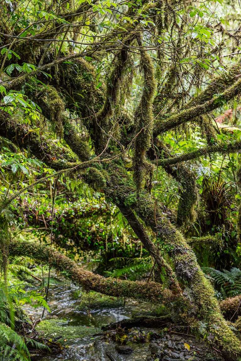 Rainforest near Fox Glacier© Michael Evans Photographer 2015