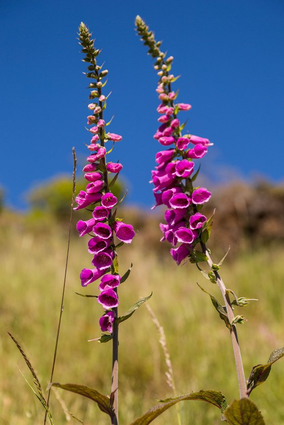 Flowers on Roy's Peak, Wanaka© Michael Evans Photographer 2015