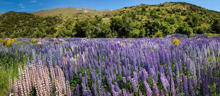 Lupins, New Zealand  © Michael Evans Photographer 2015