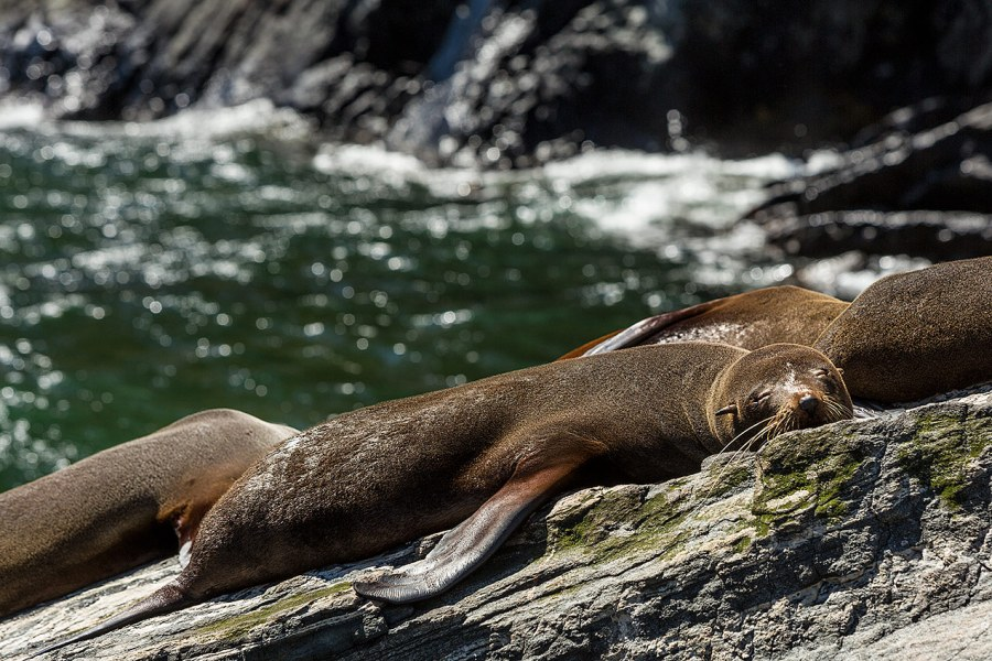 Seals at Milford Sound, New Zealand © Michael Evans Photographer 2015