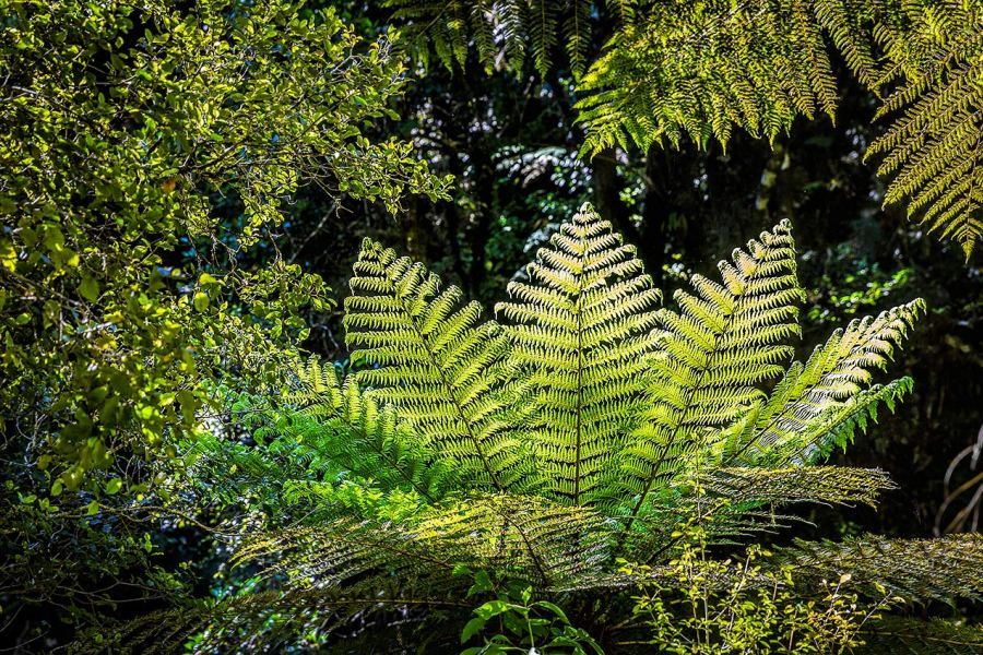Fern in Caitlins Forest Park, New Zealand © Michael Evans Photographer 2015