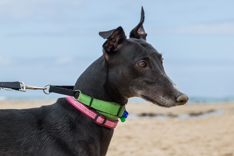 Greyhound © Michael Evans Photographer 2016