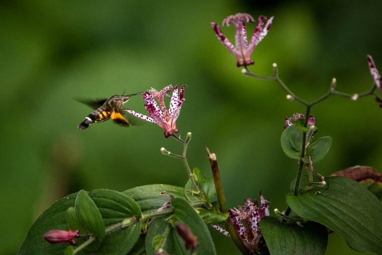 A hummingbird hawk moth feeding in Shinjuku Gyoen gardens© Michael Evans Photographer 2017