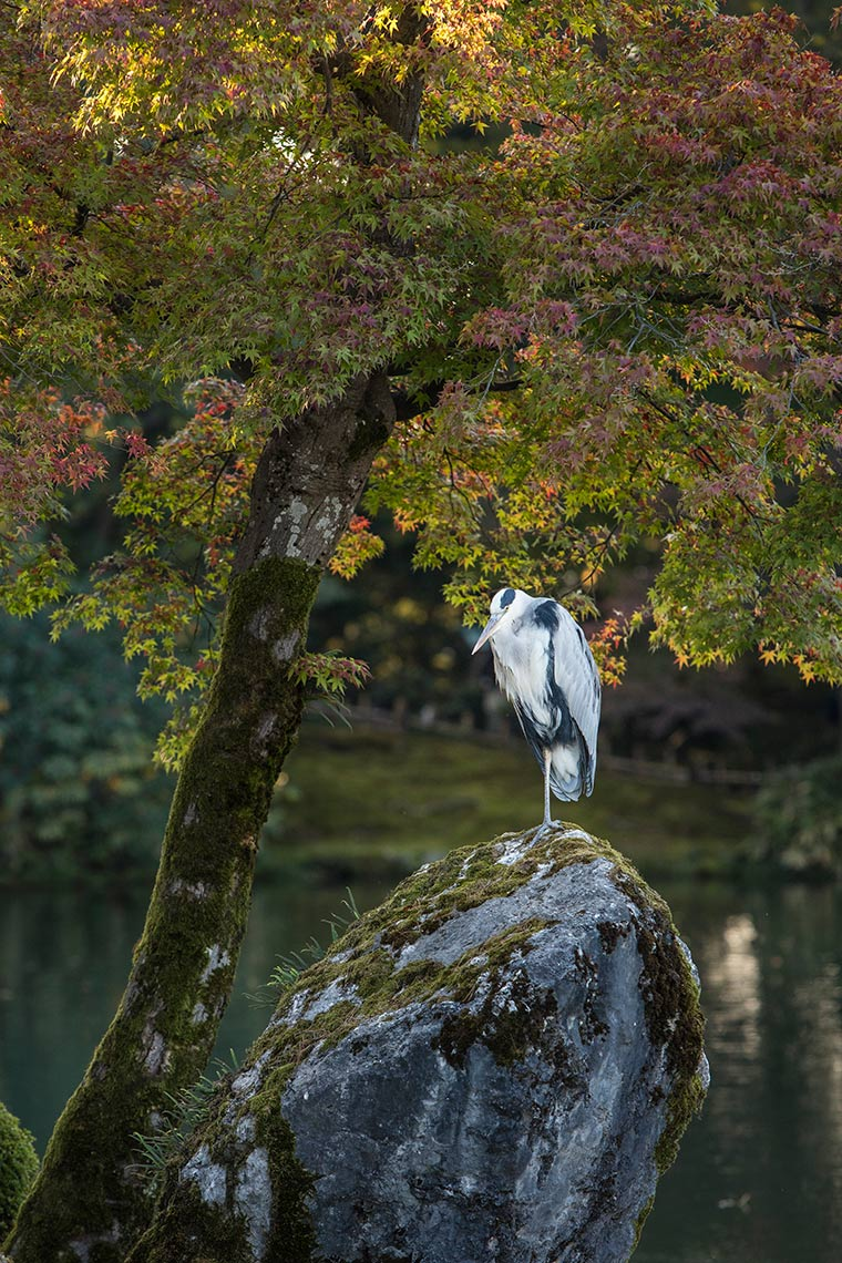Heron in Kenrokuen Gardens © Michael Evans Photographer 2017