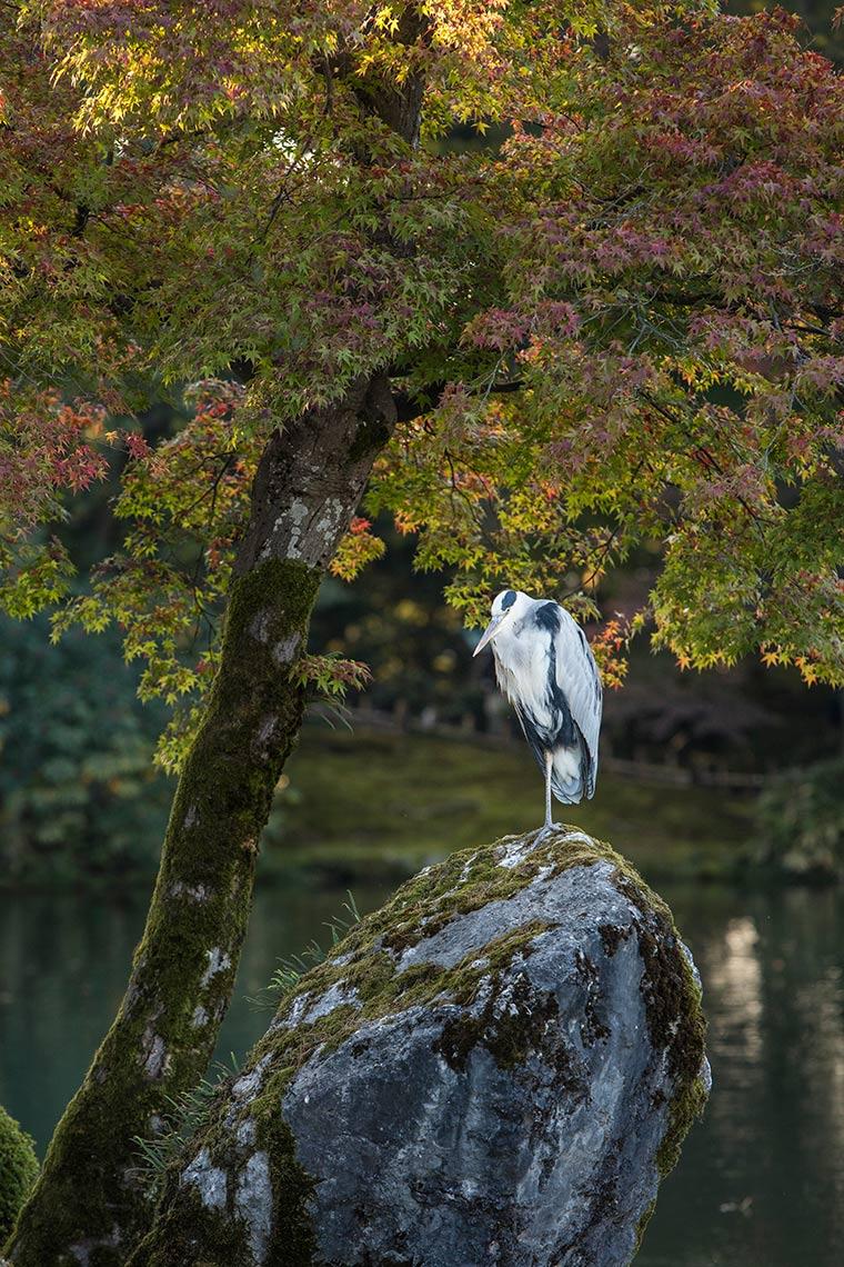 Heron in Kenrokuen Gardens © Michael Evans Photographer 2017