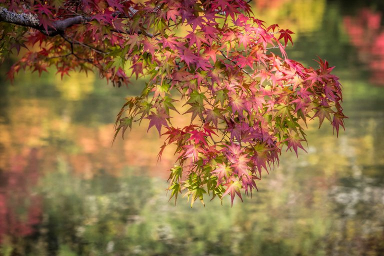 Autumn colour in Kyoto, Japan © Michael Evans Photographer 2017  - www.michaelevansphotographer.com