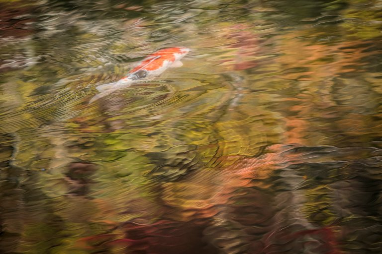 A Koi carp swims among reflected autumn colour in Kyoto, Japan © Michael Evans Photographer 2017