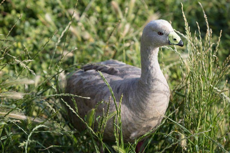 Grey goose - Phillip Island landscape photography - © Michael Evans Photographer 2018